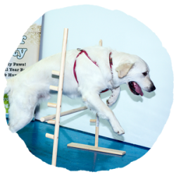 EveryDog-Kent-Dog-Training-Agility-1